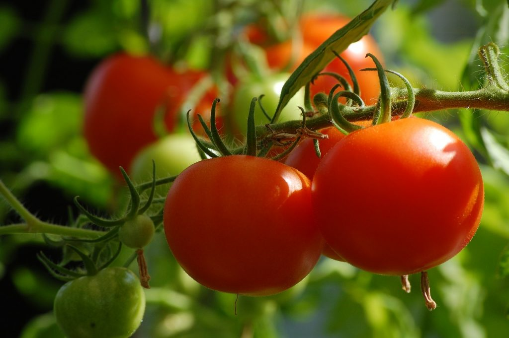 tomato, gardening, growing tomatoes, epsom salt, eggshells, dirt, compost, hornworms, summer, vegetables, fresh food, healthy food