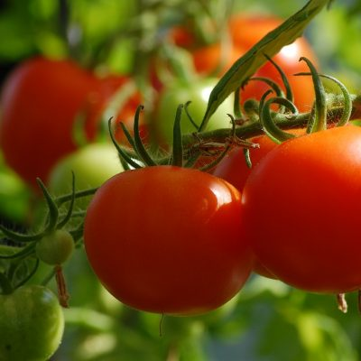 Growing Tomatoes 101: A Simple Guide for Beginners