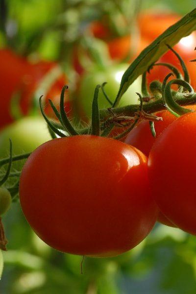 tomato, gardening, growing tomatoes, epsom salt, eggshells, dirt, compost, hornworms, summer, vegetables, fresh food, healthy food
