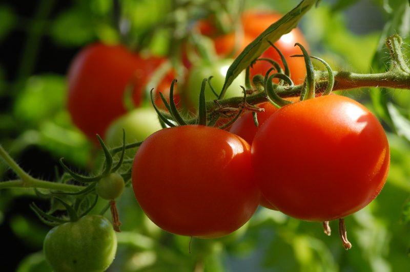 tomato gardening growing tomatoes epsom salt eggshells dirt compost hornworms
