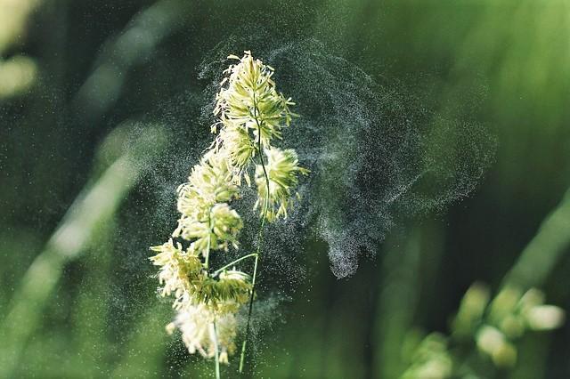 neti pot, seasonal allergies, allergy relief, saline solution, hayfever, late summer, early fall, pollen, histamines, Kirkland Aller-flow, Neti Pot solution recipe card