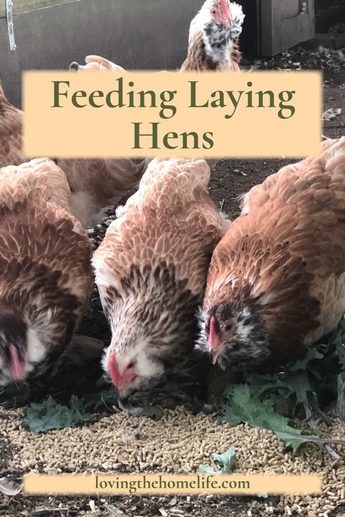 Pinterest pin of Salmon Favoralle hens eating chicken feed and kale leaves for the article What to Feed and What Not to Feed Your Laying Hens by Loving the Home Life.